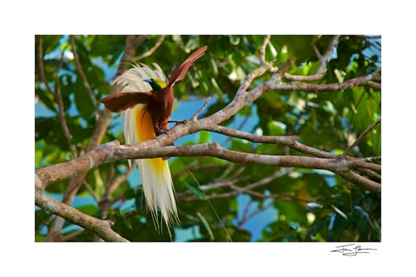A male Lesser Bird-of-Paradise attempts to lure a female to his perch with fluffed up plumes and beating wings.