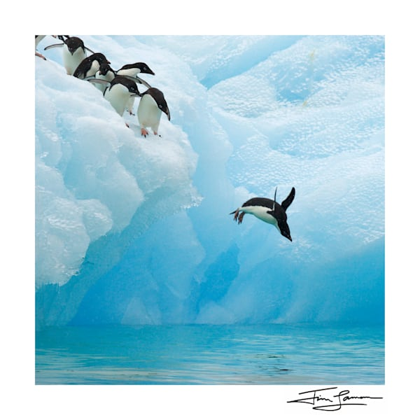 Taking the Plunge-Adelie Penguin