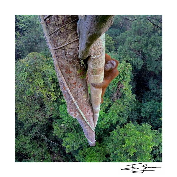 Entwined Lives – the Orangutan Climb