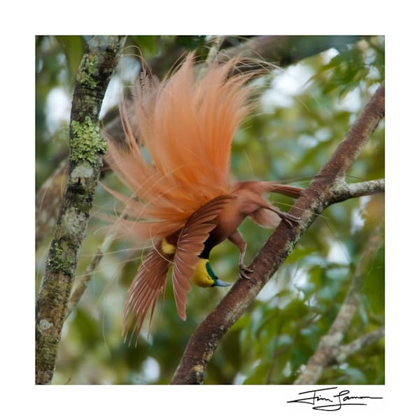 Plume Explosion   Raggiana Bird Of Paradise Photography Art | Tim Laman