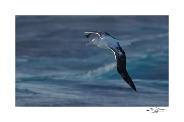 Wandering Albatross In Flight over the ocean.