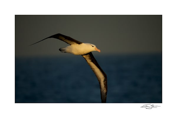 A Black-browed albatross in flight over the Beagle Channel Tierra del Fuego, Argentina.