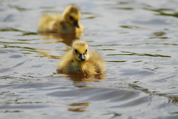 Canada Goslings
