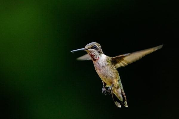 Humming Bird Photography Art | Colin Hocking Photography
