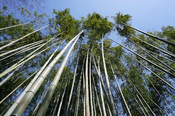 Japan Bamboo Sway