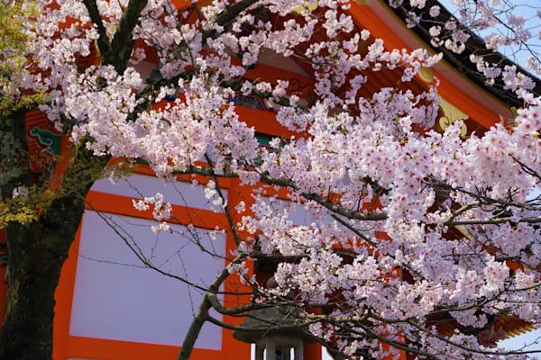 Japan Cherry Red