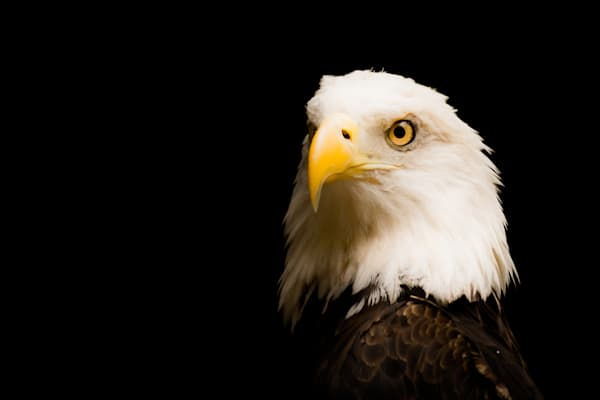 American Bald Eagle 2   Dsc4134 Art   No Blink Pictures, LLC