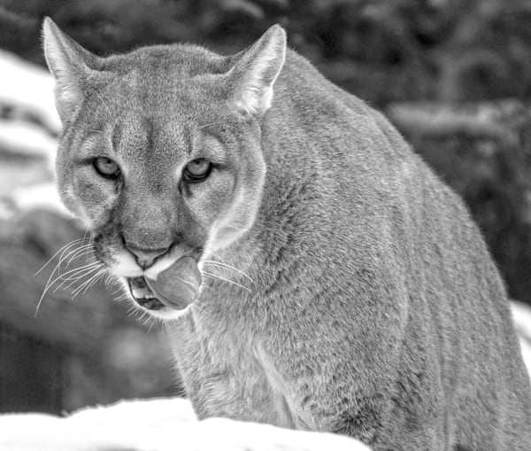 Cougar Stare Black And White Art   No Blink Pictures, LLC