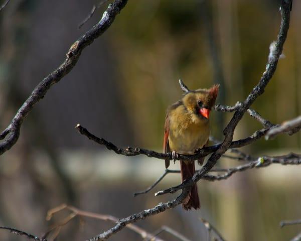 Inquizitive Cardinal Art   No Blink Pictures, LLC