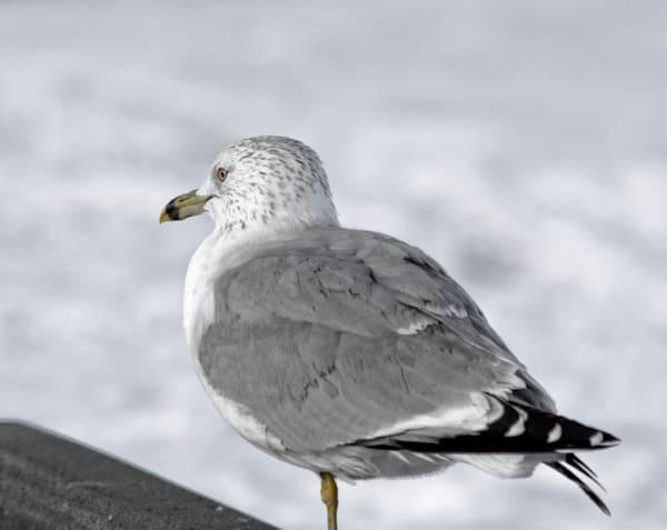 Gull Art   No Blink Pictures, LLC