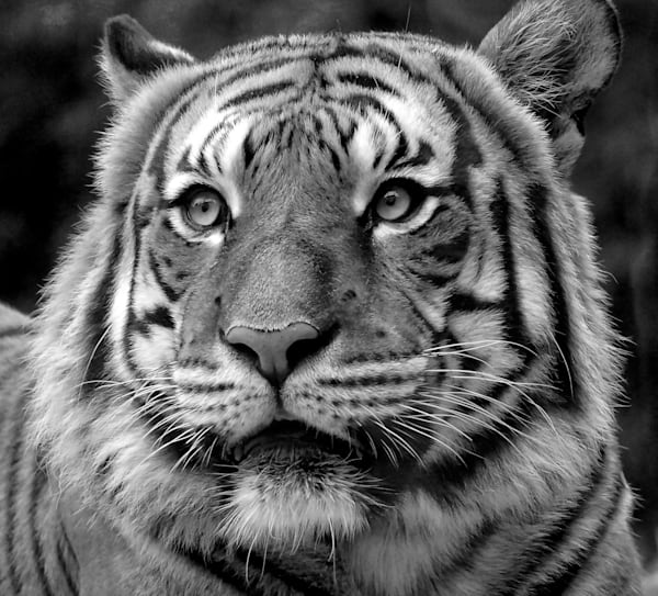 Tiger Stare   Black And White   Up Close Art   No Blink Pictures, LLC