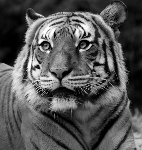 Tiger Stare   Black And White Art   No Blink Pictures, LLC