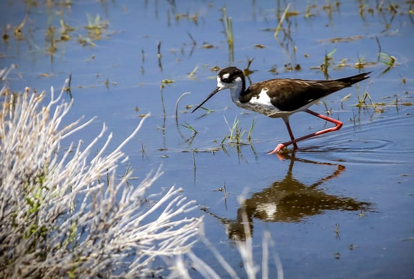 Black Necked Stilt-Lake Washoe NV - Photography- Shop Art Masonandmasonimages.com