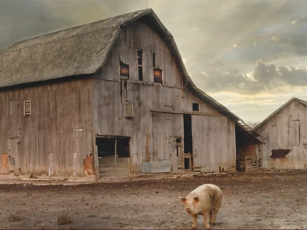 'Dad's Pig Farm' Photograph by Nancy Miller for sale as Fine Art
