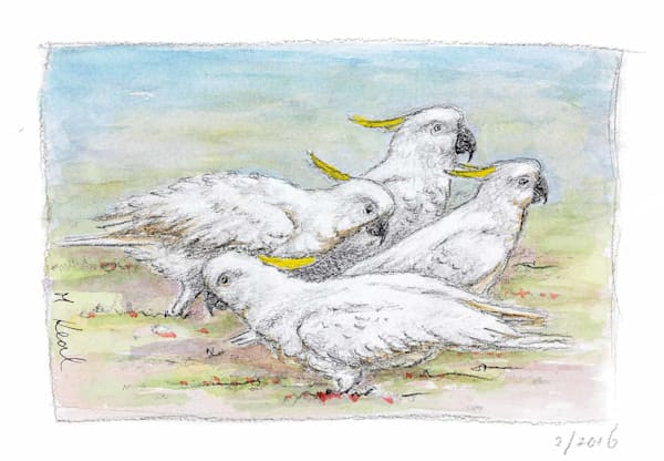 Cockatoo Clan Foraging