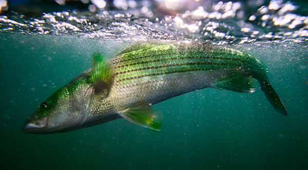 Jeff Adams Photography - Art Prints - Striper Strike