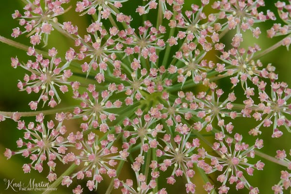 Pink Queen Anne's Lace Photograph 1347 | Koral Martin Fine Art Photography | Wildflower Photography