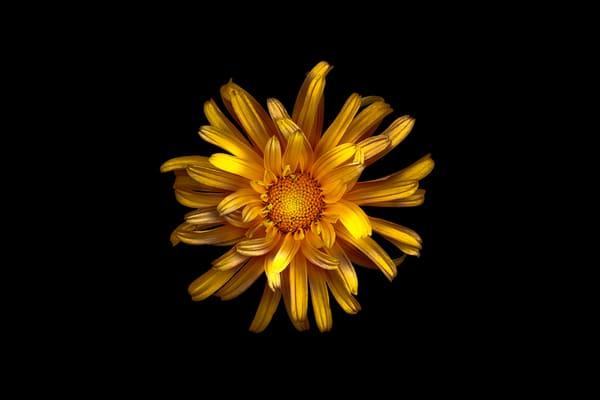 yellow daisy flower     Brad Oliphant Photography