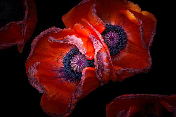 burgundy poppy flowers