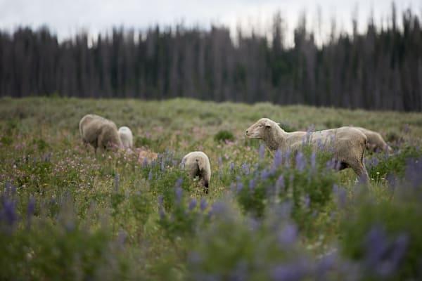 Utah Higland Herd Photography Art | Nathan Larson Photography, LLC