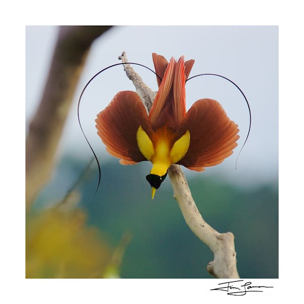 Birds of Paradise Square Prints