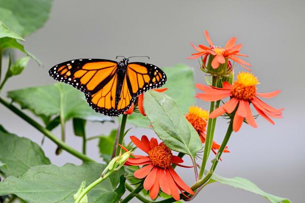 Monarch Feast