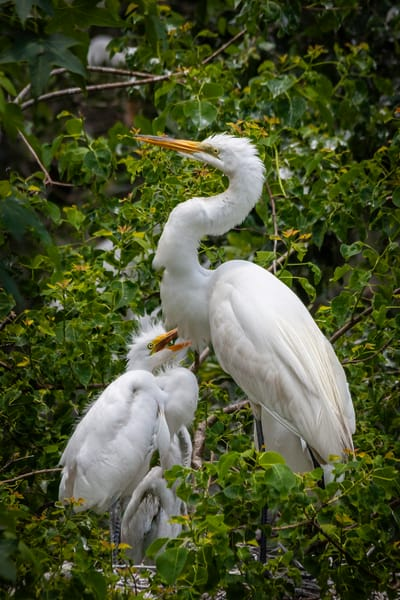Great Egrets in the Nest