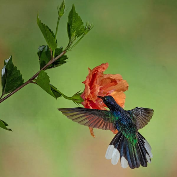 Bronze-tailed Plumeleteer on Hibiscus