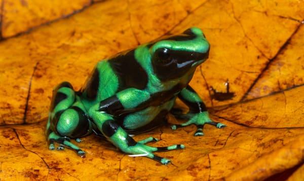 Green And Black Poison Dart Frog Photography Art | John Martell Photography