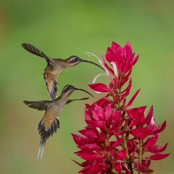 Long Billed Hermit On Pavon Flower Photography Art | John Martell Photography