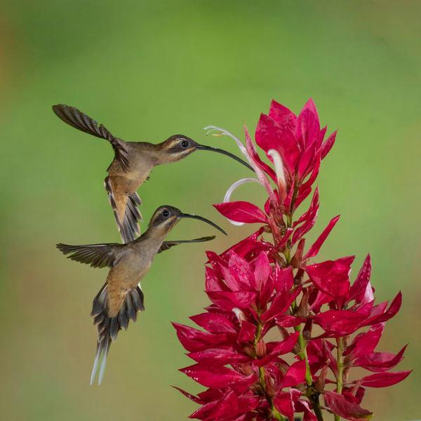 Long-billed Hermit on Pavon flower