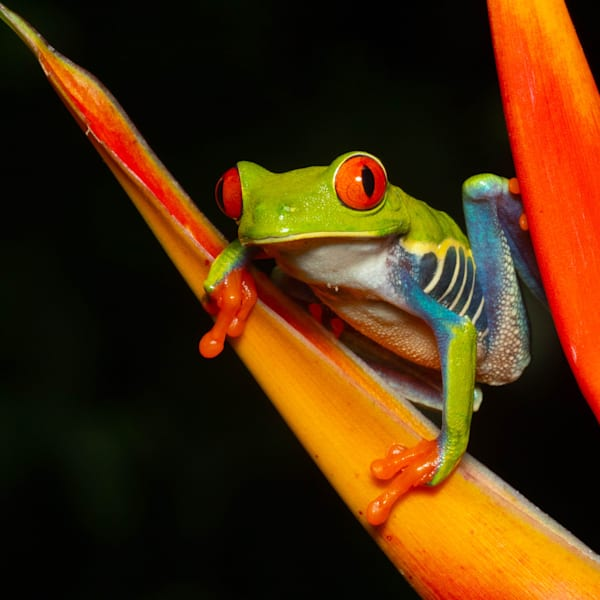 Red Eyed Tree Frog 1 Photography Art | John Martell Photography