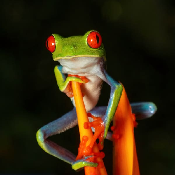 Red Eyed Tree Frog 6