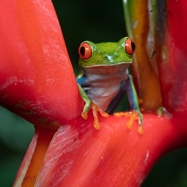 Red Eyed Tree Frog 8