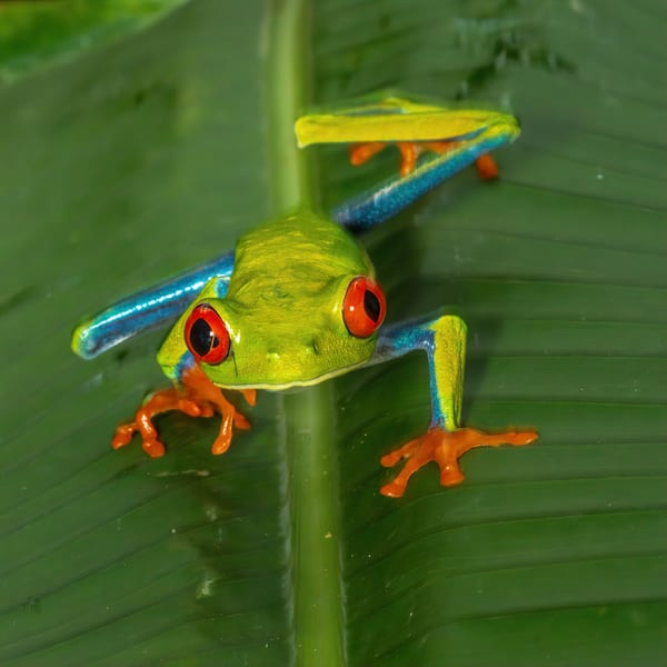 Red Eyed Tree Frog 7 Photography Art | John Martell Photography