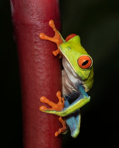 Red Eyed Tree Frog 13 Photography Art | John Martell Photography