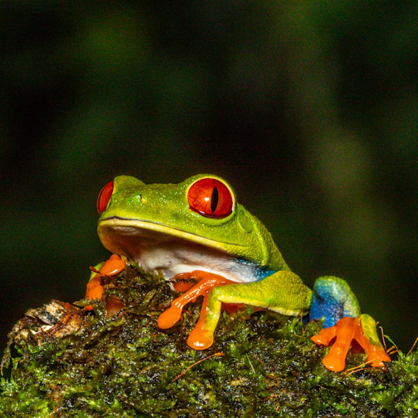 Red Eyed Tree Frog 9 Photography Art | John Martell Photography