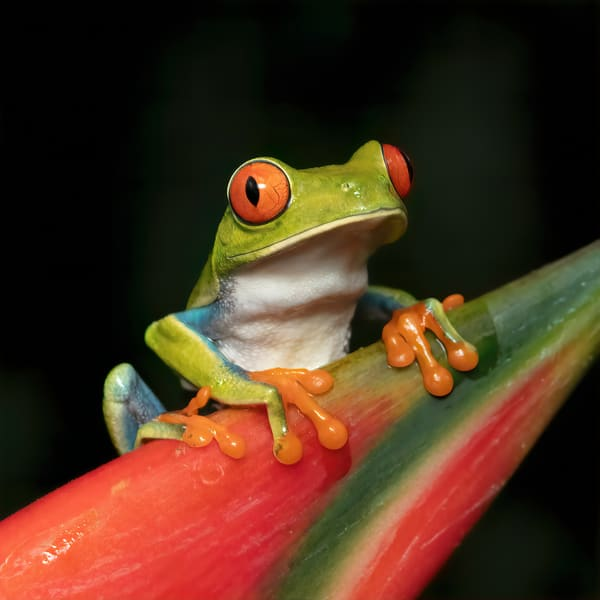 Red Eyed Tree Frog 10 Photography Art | John Martell Photography