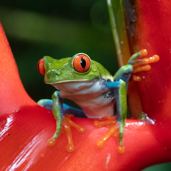 Red Eyed Tree Frog 12 Photography Art | John Martell Photography