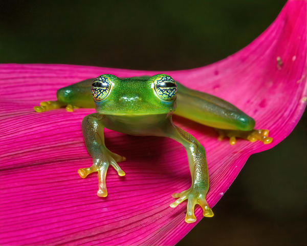 Spiny Glass Frog 2 Photography Art | John Martell Photography