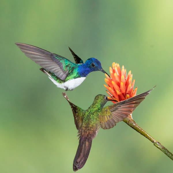 White-necked Jacobin and Bronze Tailed Plumeltier
