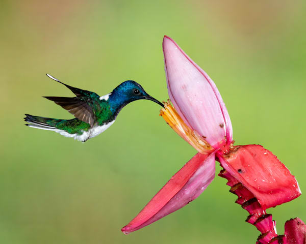 White-necked Jacobin on Banana