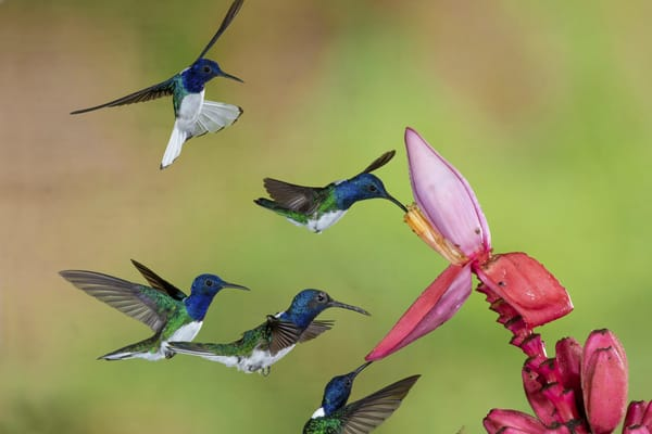 White-necked Jacobins on Banana