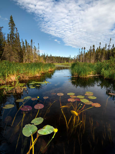 Summer lily pads photographed near the BWCAW in Cook County, MN