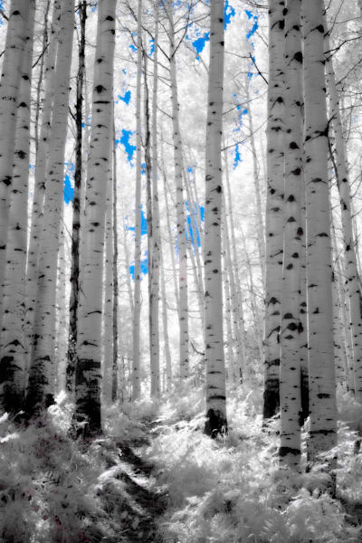 Towering Aspen trees rendered in infrared