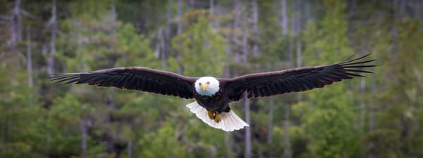 Eagle In Flight Art | Tony Pagliaro Gallery