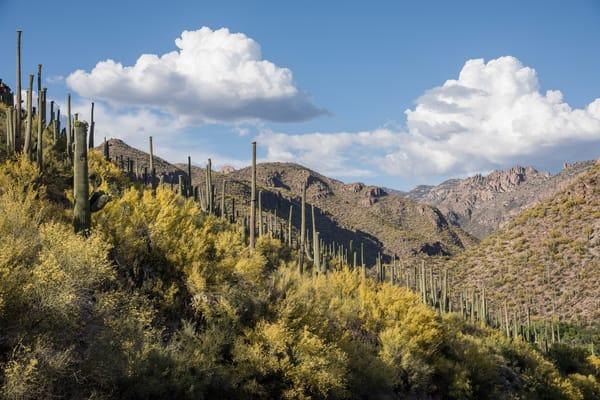 Flowering Palo Verde, Sabino Canyon, Tucson, Arizona