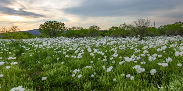 TX, Texas, hill-country, willow-city, poppy, poppies, white, bluebonnet, sunset, art