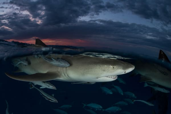 Lemon Shark Sunset Split, Tiger Beach, Bahamas