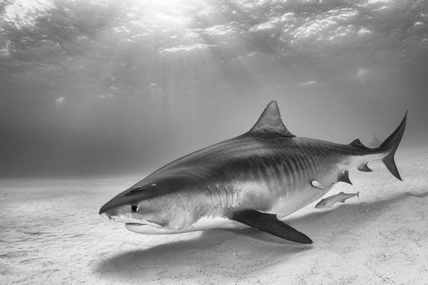Tiger Shark BW, Tiger Beach, Bahamas